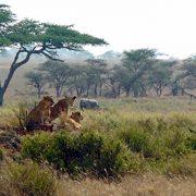 Löwen und Elefanten_Tansania-88